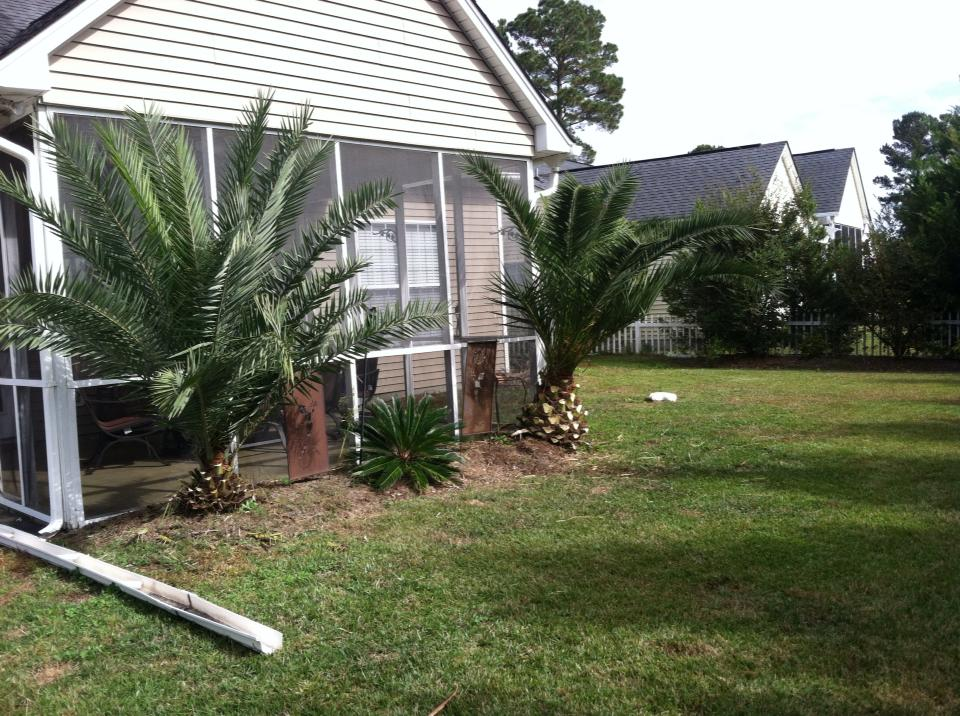 Trim palm trees in Carolina Forest