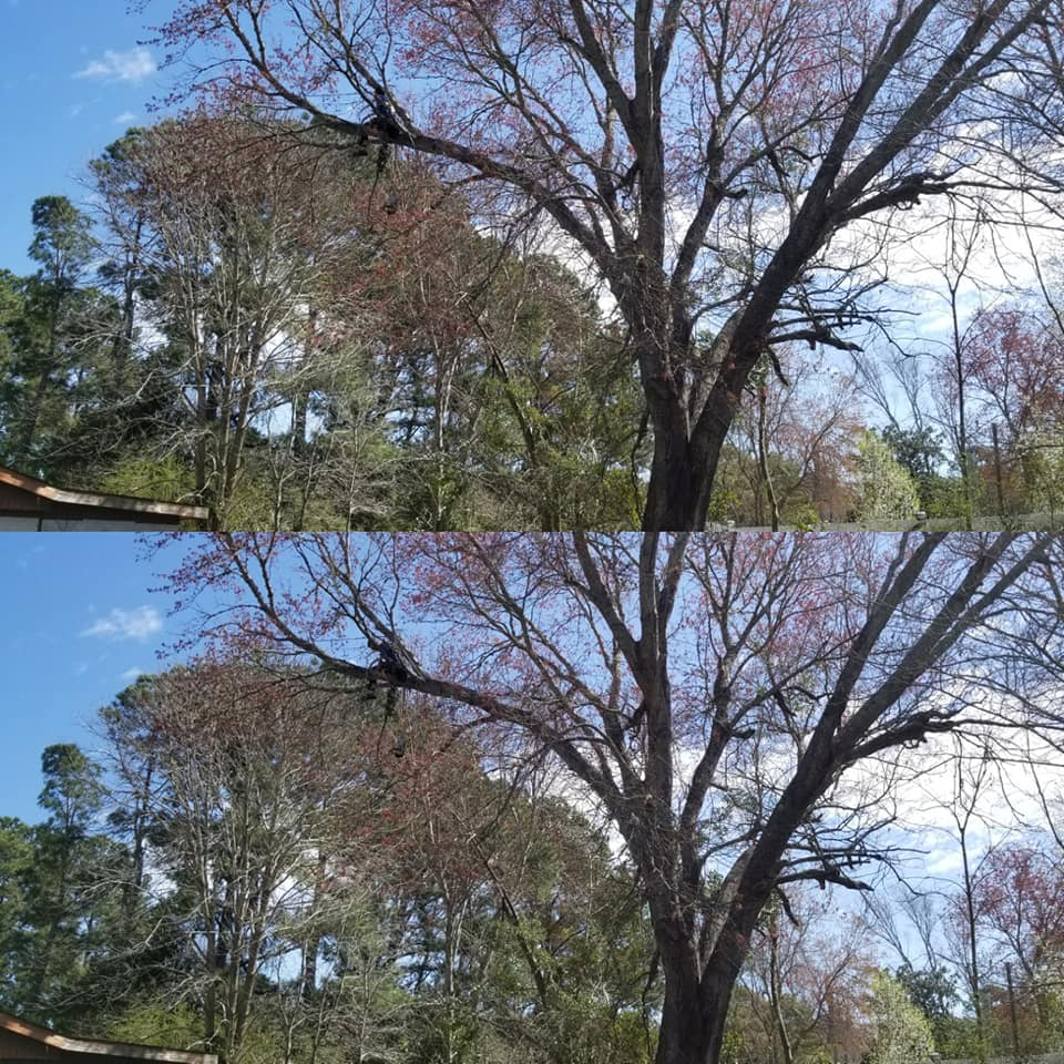 trimmed and removed trees in Little River,SC 29566