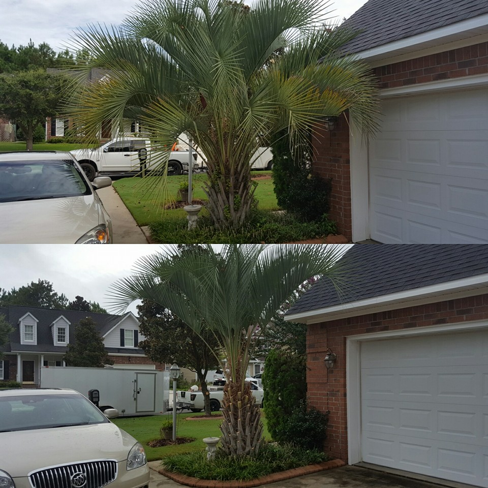 Trimmed palm trees in Cherry Grove,SC 29582