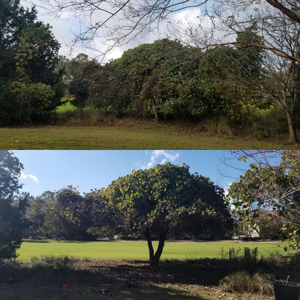 Trimmed vines and trees to get a golf course view in Barefoot North Myrtle Beach,SC 29582