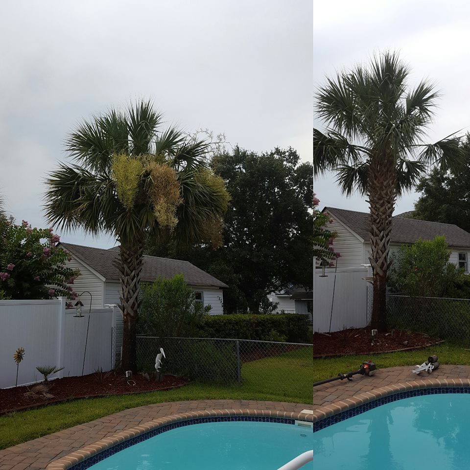 Palm tree trimming in Cherry Grove